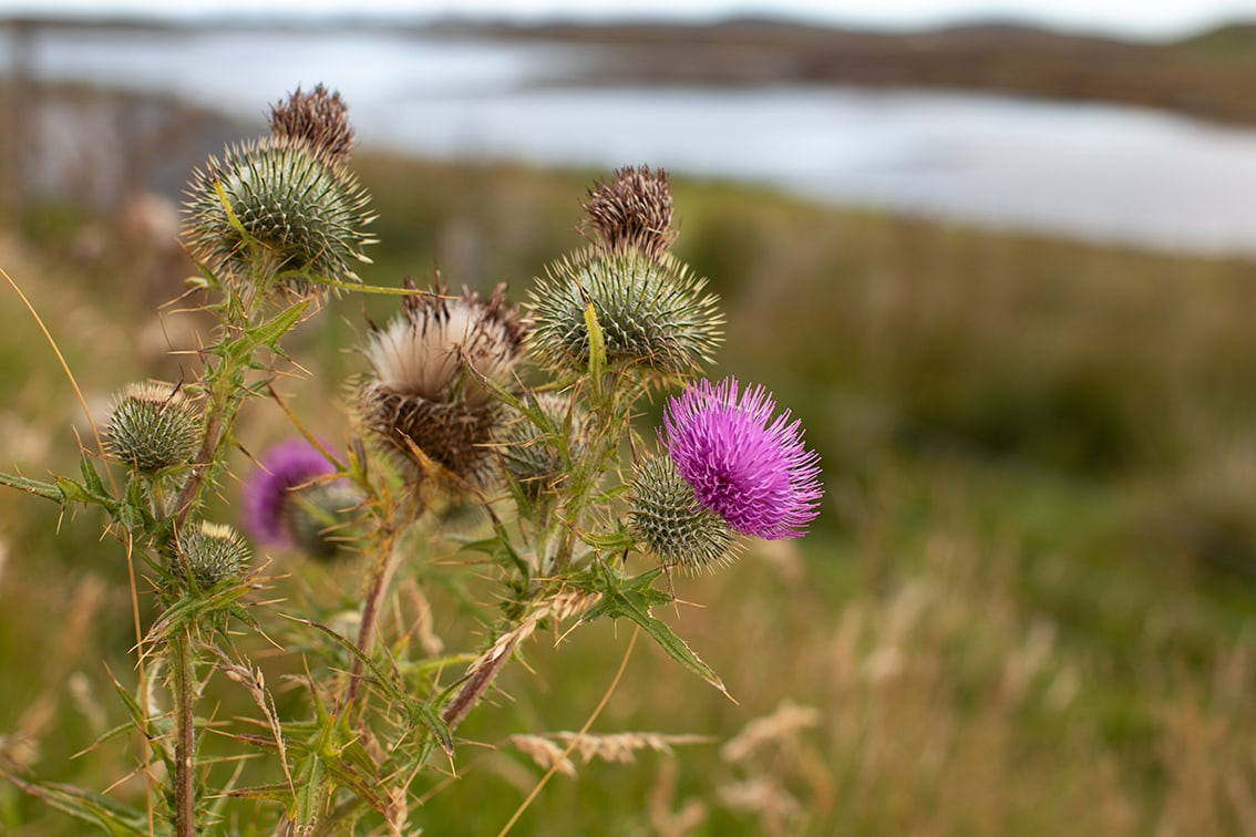 Thistles by Jade Starmore